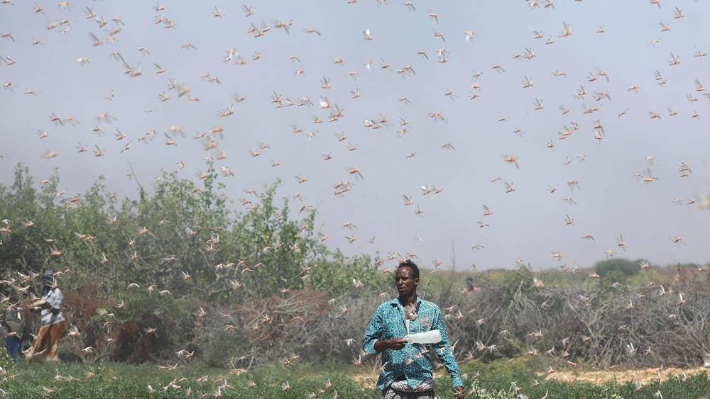 Fight Against Desert Locusts in Somalia